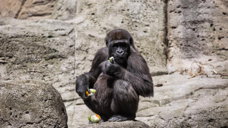 Atlanta Zoo Gorillas Test Positive For COVID, 60-Year-Old Silverback At High Risk